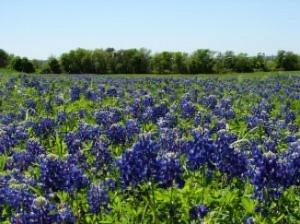 texas-bluebonnets-5_2778702